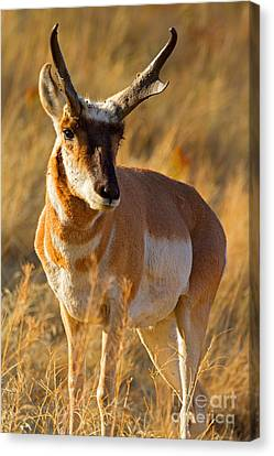 Canvas Print featuring the photograph Pronghorn by Aaron Whittemore