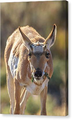 Pronghorn Yellowstone National Park Canvas Print by Tom Norring