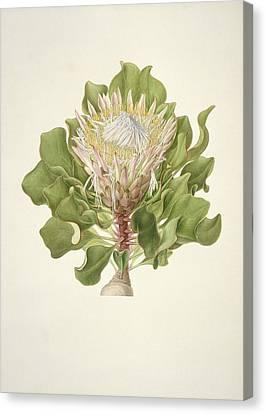 Protea Cynaroides, 18th Century Canvas Print