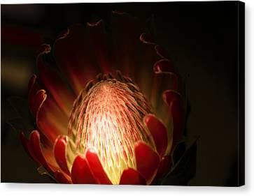Protea Flower 2 Canvas Print by Rebecca Cozart