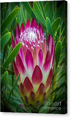 Protea In Pink Canvas Print
