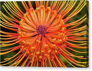 Protea, Kula Botanical Garden Canvas Print by Douglas Peebles