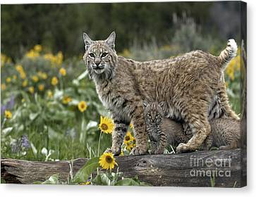 Baby Bobcat Canvas Print - Protection by Wildlife Fine Art