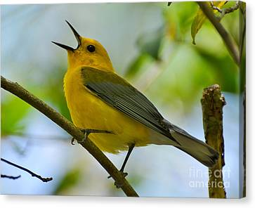 Prothonotary Warbler Singing Canvas Print by Kathy Baccari