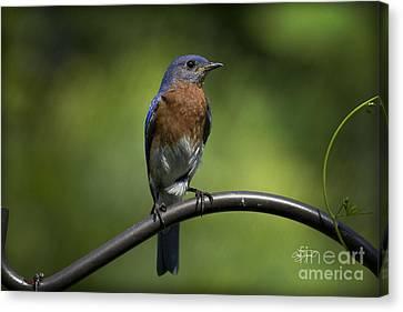 Amen Corner Canvas Print - Proud Eastern Bluebird  by Cris Hayes