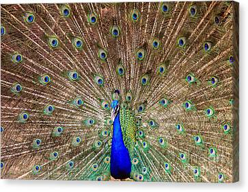 Canvas Print featuring the photograph Proud Peacock by Geraldine DeBoer