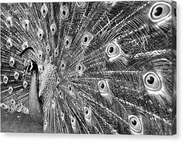 Proud Peacock Canvas Print by Sean Davey
