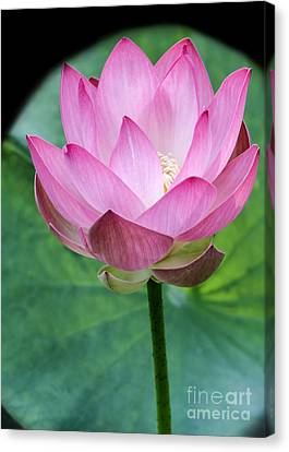 Proud Pink Lotus Canvas Print by Sabrina L Ryan
