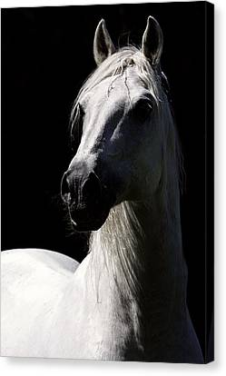 Proud Stallion Canvas Print by Wes and Dotty Weber