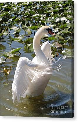 Proud Swan Canvas Print