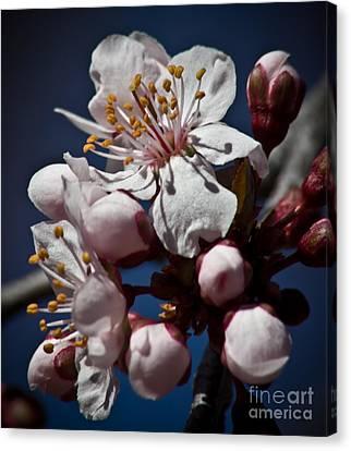 Prunus Armeniaca In Bloom Canvas Print