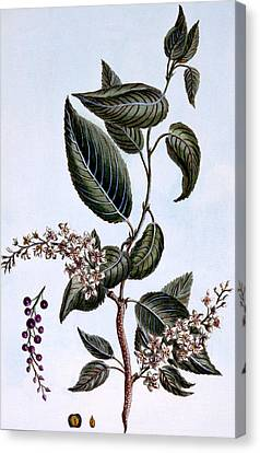 Prunus Padus Or Bird Cherry Canvas Print by Pierre Joseph Buchoz