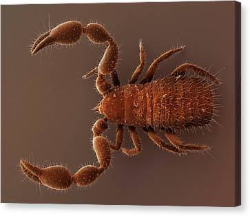 Arachnida Canvas Print - Pseudoscorpion (sem) by Power And Syred
