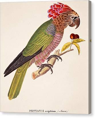 Psittacus Accipitrinus Canvas Print by German School