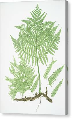 Pteris Aquilina. The Common Brakes, Or Bracken Canvas Print by Litz Collection