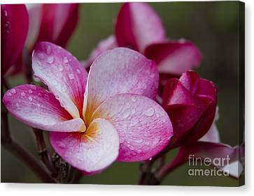 Pua Melia Floral Celebration Canvas Print by Sharon Mau