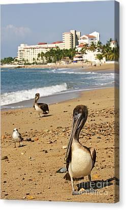 Puerto Vallarta Pelicans Canvas Print by Elena Elisseeva