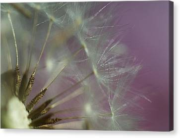 Puff Ball 2 Canvas Print