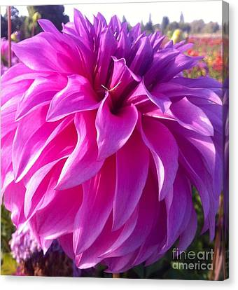 Puff Of Pink Dahlia Canvas Print by Susan Garren