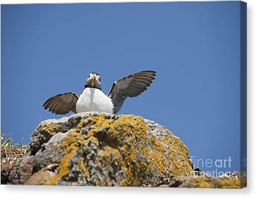 Puffed Up Puffin Canvas Print by Anne Gilbert