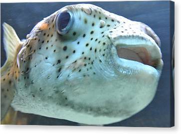 Puffer Fish Canvas Print by Amber Davenport