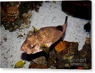 Pufferfish 5d24157 Canvas Print by Wingsdomain Art and Photography