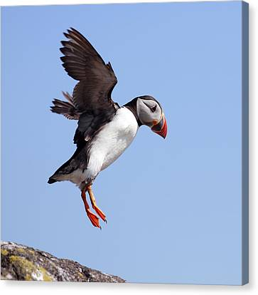 Puffin In Flight Canvas Print by Grant Glendinning