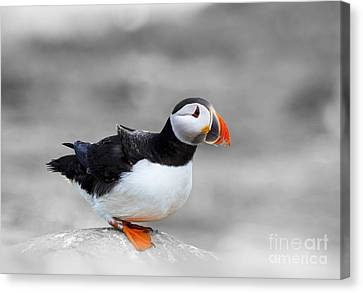 Puffin Bokeh Canvas Print