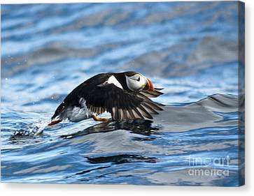 Puffin Starting To Fly Canvas Print by Heiko Koehrer-Wagner