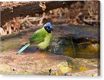 Puffy Green Jay Canvas Print by Stuart Litoff