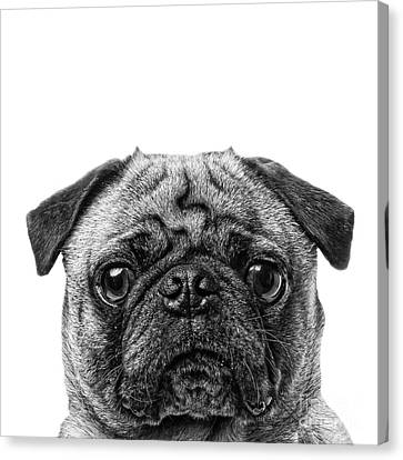 Pug Dog Square Format Canvas Print by Edward Fielding