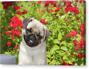 Pug Puppy In Red Roses Canvas Print