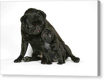Pug With Puppy Canvas Print by John Daniels