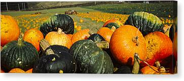 Pumpkin Field, Half Moon Bay Canvas Print by Panoramic Images