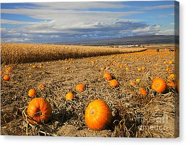 Cornfield Canvas Print - Pumpkin Harvest by Mike  Dawson