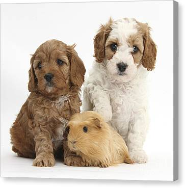 Puppies And Guinea Pig Canvas Print