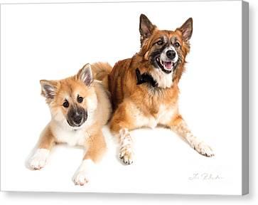 Puppy And Adult Icelandig Sheepdog Canvas Print by Iris Richardson