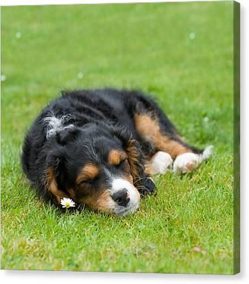 Puppy Asleep With Garden Daisy Canvas Print by Natalie Kinnear