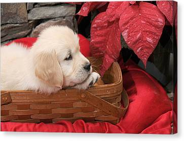 Canvas Print featuring the photograph Puppy In A Basket by Paul Miller
