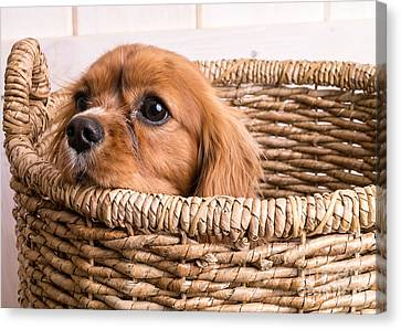 Puppy In A Laundry Basket Canvas Print by Edward Fielding