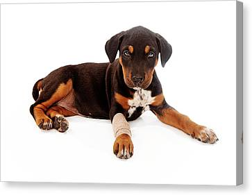 Puppy Laying With Injury Canvas Print