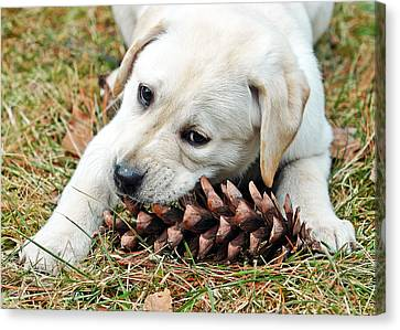 Puppy With Pine Cone Canvas Print by Lisa Phillips