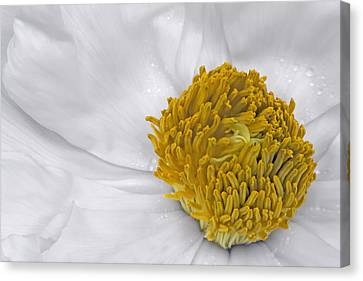 Pure And A Heart Of Gold Canvas Print by Susan Candelario