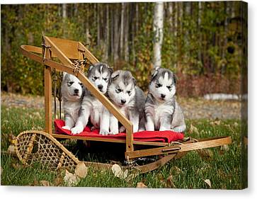 Pure-bred Siberian Husky Puppies In Canvas Print