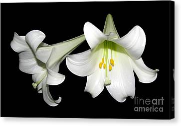Canvas Print featuring the photograph Pure White Easter Lilies by Rose Santuci-Sofranko