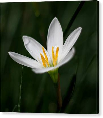Pure White - Lily Canvas Print by Ramabhadran Thirupattur