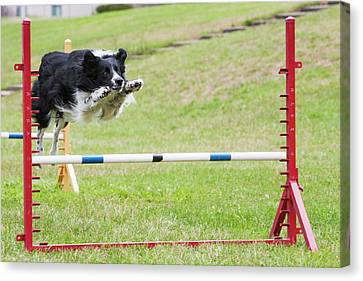 Purebred Border Collie Jumping Agility Canvas Print by Piperanne Worcester