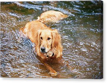 Purebred Golden Retriever Lying Canvas Print by Piperanne Worcester