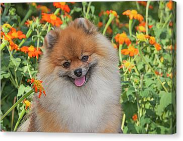 Purebred Pomeranian Sitting Among Canvas Print