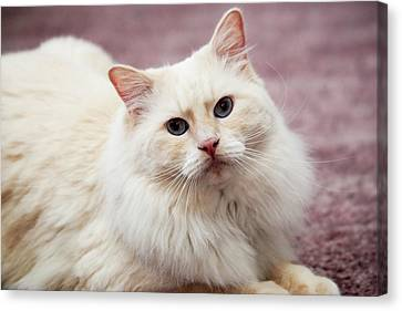 Purebred Rag Doll Cat, Flame Point Canvas Print by Piperanne Worcester